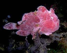 Frogfish ocellated.jpg