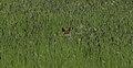 Fuchs-im-Gras.jpg
