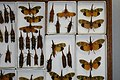 Fulgoridae Drawers - 5036101045.jpg