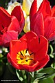 Full bloom fiery tulips - panoramio.jpg