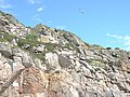 Fulmar over cliffs and landing steps, Round Island, Scilly - geograph.org.uk - 1607499.jpg