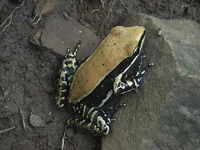 Description de l'image Fungoid frog.jpg.