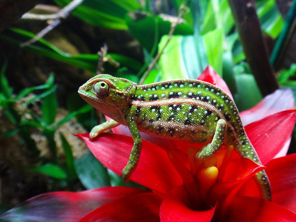 jewelled chameleon  wikipedia