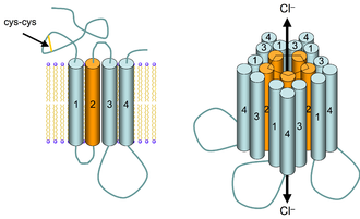 GABAA receptor - Schematic structure of the GABAA receptor. Left: GABAA monomeric subunit imbedded in a lipid bilayer (yellow lines connected to blue spheres). The four transmembrane α-helices (1–4) are depicted as cylinders. The disulfide bond in the N-terminal extracellular domain which is characteristic of the family of cys-loop receptors (which includes the GABAA receptor) is depicted as a yellow line. Right: Five subunits symmetrically arranged about the central chloride anion conduction pore. The extracellular loops are not depicted for the sake of clarity.