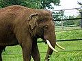 GOC Woburn 083 Asian Elephant (Elephas maximus), Woburn Safari Park (22809025857).jpg