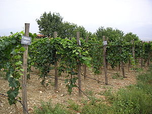 Agriculture in Georgia (country) - An experimental vineyards in Georgia