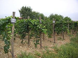 Georgian wine - Georgian vineyard.