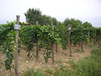 Georgian wine - Georgian vineyard.