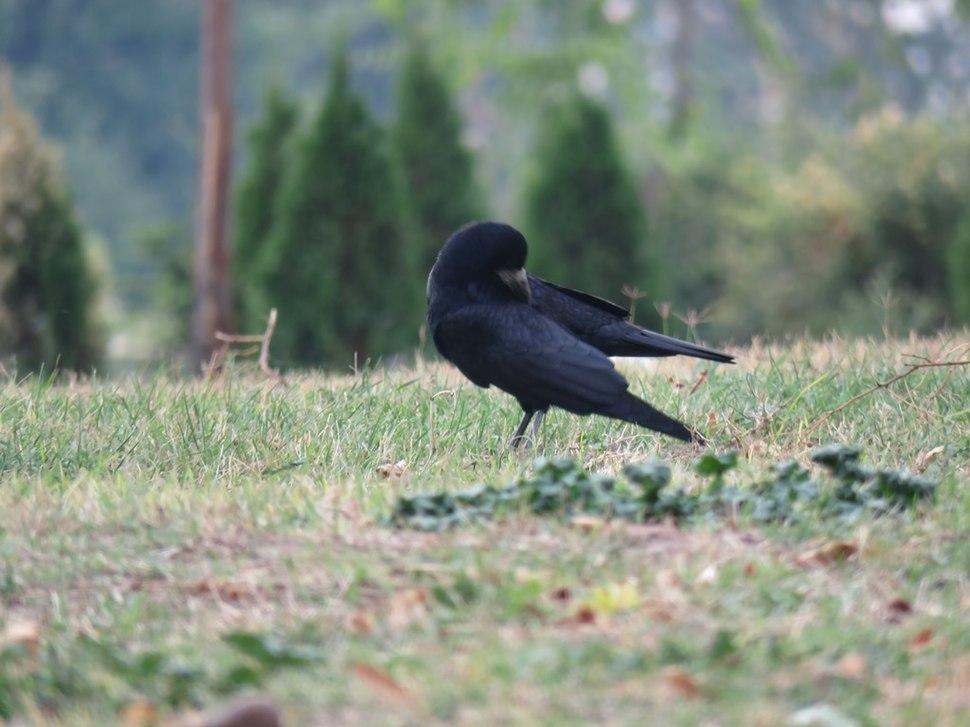 Gačac, ptice u Nišu, Srbija (6)