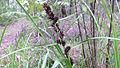 Gahnia aspera inflorescence (15495838084).jpg