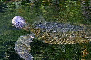 Galápagos green turtle - Image: Galápagos green turtle (Chelonia mydas agassizi)