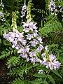 Galega officinalis1UME.jpg