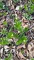 Galium odoratum, familija Rubiaceae 02.jpg