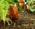 Garden Hen.jpg