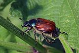 Garden chafer beetle (Phyllopertha horticola).jpg