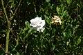 Gardenia jasminoides - Flickr - Alejandro Bayer.jpg