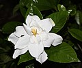 Gardenia jasminoides Double-flowered s1.JPG