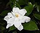 Gardenia jasminoides Double-flowered s1