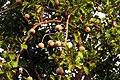 Gardenia turgida PannaTR IMG 3418.jpg