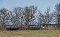 Gardian and Camargue cattles, Saint-Gilles 09.jpg