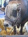Gasconne taureau.jpg