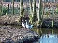Geese 23-02-2003 (6318843956).jpg