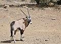 Gemsbok (Oryx gazella) male ... (50549349318).jpg