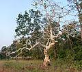 Ghost Tree. Sterculia urens..jpg