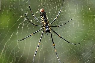 Genus of spiders