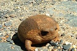 Giant Rain Frog Breviceps gibbosus - Cape Town.JPG