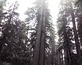 Giant Redwoods, Jedediah Smith Redwoods State Park, CA Nov 4 2008 - panoramio.jpg