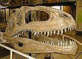 Giganotosaurus skull.jpg