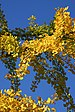 Gingko biloba branches and yellow leaves up against blue sky - 2018-10-10.jpg