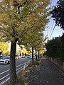 Ginkgo biloba trees near Kashiihama Crossroads.jpg