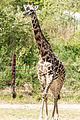 Giraffe Walking (18140902392).jpg
