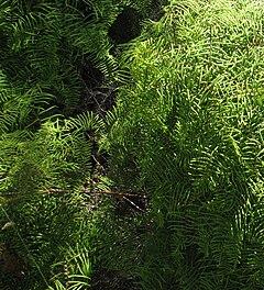 Gleichenia microphylla