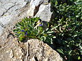 Globularia trichosantha 2015-04-166 467.jpg
