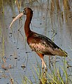 Glossy Ibis (Plegadis falcinellus) at Lake Woodruff - Flickr - Andrea Westmoreland.jpg