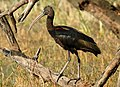 Glossy Ibis Plegadis falcinellus by Dr. Raju Kasambe DSCN1211 (2).jpg