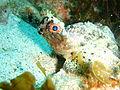 Glyptauchen panduratus Goblinfish P1021068.JPG