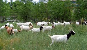 Capra (genus) - Goats used for natural weed control