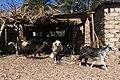 Goats in Dahab 2020-03-01.jpg
