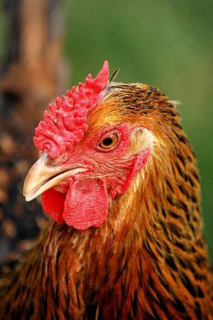 Wyandotte chicken - Gold-laced hen