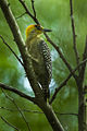 Golden-cheeked Woodpecker - Mexico S4E8402 (16224579117).jpg