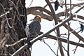 Golden-fronted Woodpecker (female) South Llano River State Park Llano TX 2018-02-24 13-55-51 (40540900952).jpg