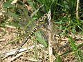 Golden-ringed Dragonfly (954667524).jpg