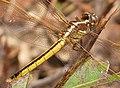 Golden-winged Skimmer. Libellula auripennis. Female (37673038035).jpg