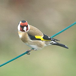 Goldfinch (Carduelis carduelis), Craigleith, Edinburgh - geograph.org.uk - 1229777.jpg