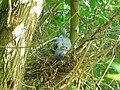 Golub grivnaš, odrasla jedinka i mladunac (Columba palumbus), Wood Pigeon, adult and juvenille.jpg