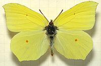 Gonepteryx.rhamni.mounted.jpg